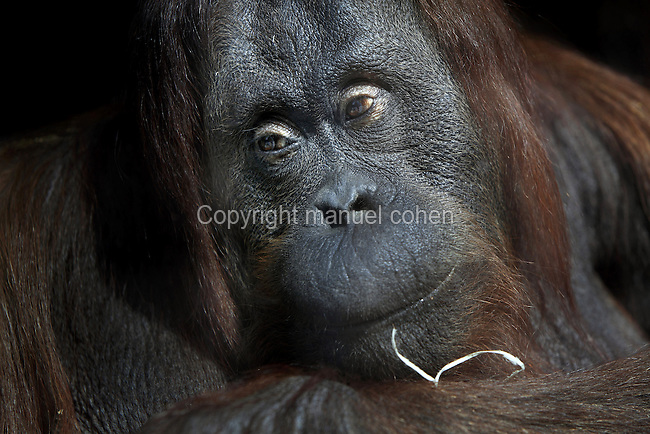 Bornean orangutan (Pongo pygmaeus) in the Menagerie or Zoo of the Jardin des Plantes, part of the Musee National d'Histoire Naturelle (National Museum of Natural History), in the 5th arrondissement of Paris, France. Picture by Manuel Cohen