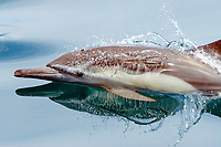 Long-beaked common dolphin, Delphinus capensis, Sea of Cortez, Mexico, East Pacific Ocean