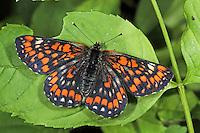 Maivogel, Kleine Maivogel, Eschen-Scheckenfalter, Euphydryas maturna, Hypodryas maturna, scarce fritillary, Le Damier du frêne