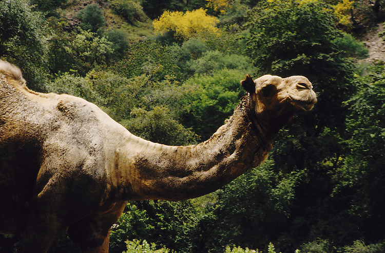 Djibouti. Primitive forest of Day. Prehistoric looking dromedary.