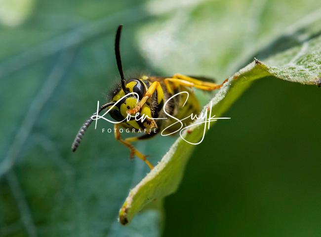 HALFWEG - insecten op de golfbaan , gewone wesp Vespula vulgaris , Amsterdamse Golf Club. (AGC)  . Insecteninventarisatie  COPYRIGHT KOEN SUYK
