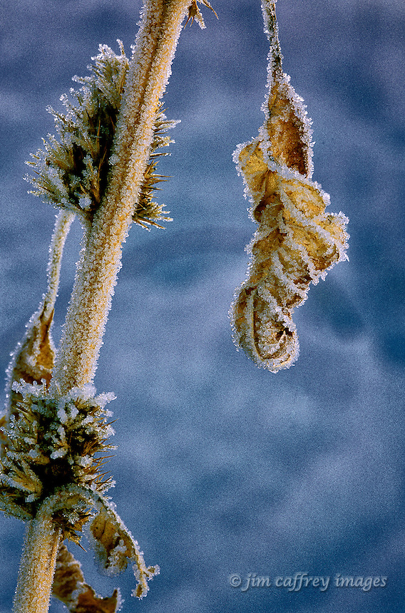 A close-up of a frozen, dried plant on a winter morning with ice crystals formed along the veins of the leaves.