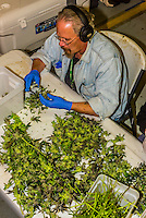 After pot is harvested, the flower is cut from the plant in the trim room, Sticky Buds, Denver, Colorado USA.