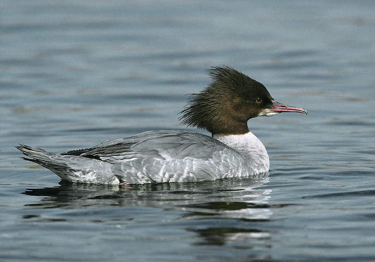Goosander Mergus merganser L 58-66cm. Large, elegant diving duck. Narrow mandibles have serrated edges. In flight, upper surface of male's inner wing is white; in female white is restricted to trailing edge. Sexes are dissimilar in other regards. Adult male has bright red bill, green-glossed head (looks dark in poor light), mainly pink-flushed white body and black back. In eclipse, resembles adult female but retains white wing pattern. Adult female has reddish bill, orange-red head with shaggy crest, and greyish body palest on breast; chin is white. Juvenile resembles dull adult female. Voice Displaying male utters ringing calls. Status Fairly common freshwater species beside wooded upland rivers; nests in tree holes. Influx from mainland Europe boosts winter numbers; found on reservoirs, lochs and flooded gravel pits.