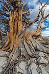 Bristlecone pine, Ancient Bristlecone Pine Forest, White Mountains, California
