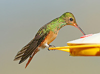 Buff-bellied hummingbird at feeder