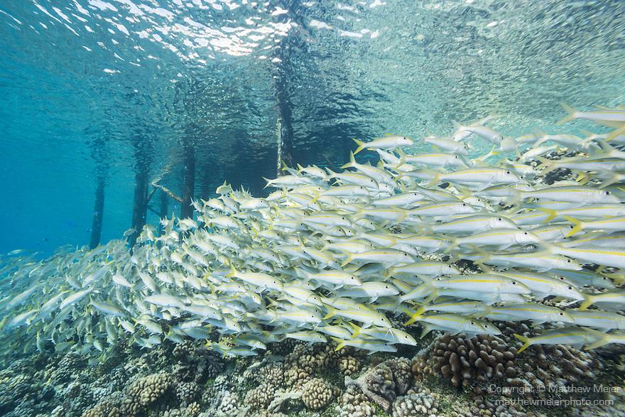 Fakarava Atoll, Tuamotu Archipelago, French Polynesia; a school of yellowfin goatfish swimming under a pier at Tetamanu Village