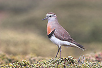 Adult Rufous-chested Dotterel - Charadrius modestus