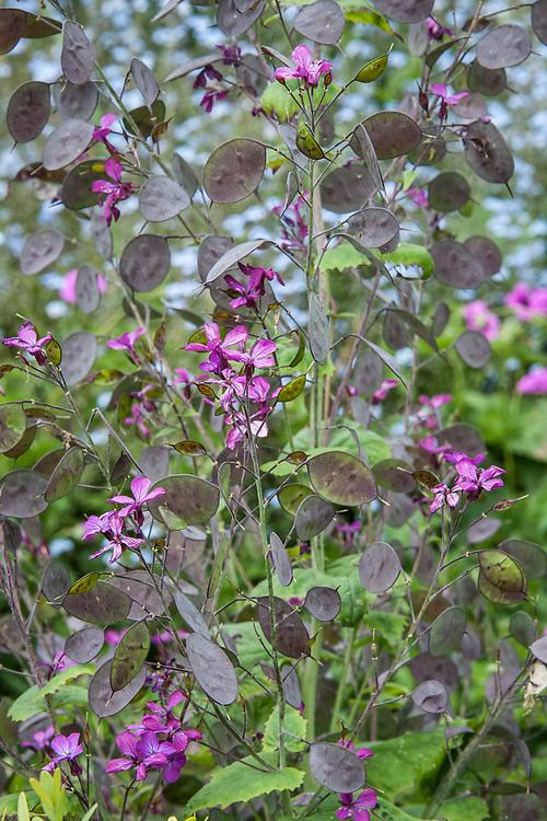 Purple-flowered Honesty (Lunaria annua), late May.