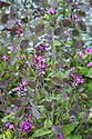 Purple-flowered Honesty (Lunaria annua), late May.