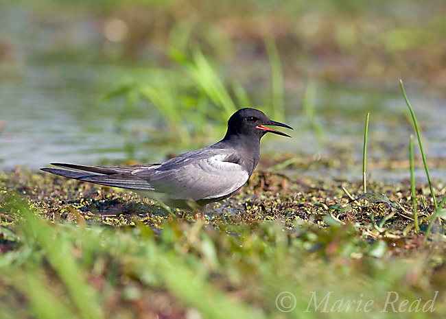 Black Tern (Chlidonias niger), Perch River Wildlife Management Area, New York, USA