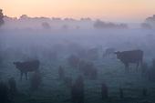 Cattle at Dawn, Norfolk, UK