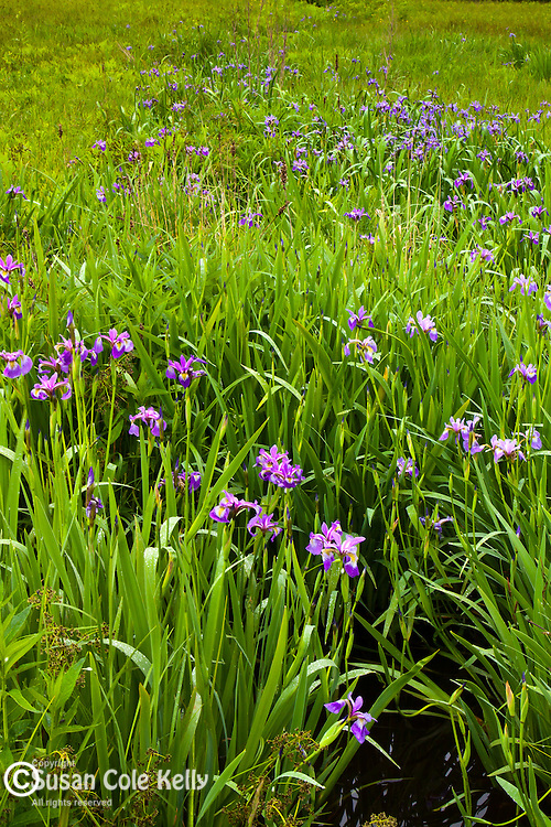 Wild Iris in Hancock County, ME, USA