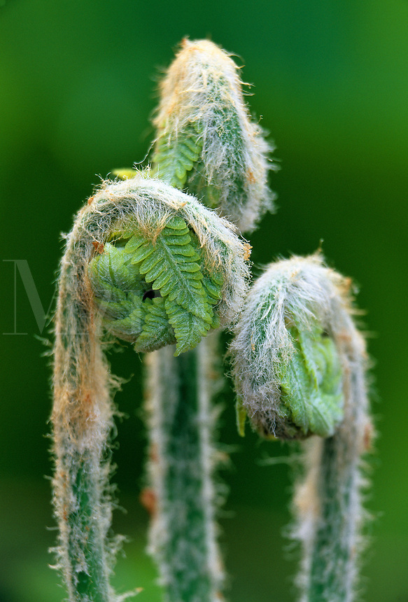 close up detail of fiddleheads popping up in spring