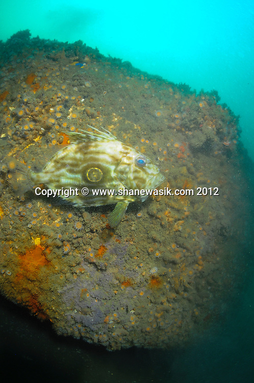 A John Dory (Zues faber) patrols the wreck of the digger.