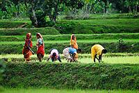 Indien Westbengalen , Millenniumsdoerf der deutschen Weltungerhilfe und NGO Kalyan , Dorf Gandhiji Songha , Frauen setzen Reispflanzen im Monsun / INDIA Westbengal Millennium goal development project of German Agro Action and NGO Kalyan , village Gandhiji Songha, women replant rice seedlings during monsoon