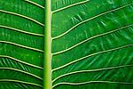 Elephant Ear Taro (Alocasia macrorrhizos) leaf, Tawau Hills Park, Sabah, Borneo, Malaysia