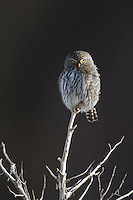 Northern Pygmy-Owl (Glaucidium gnoma), male, Yellowstone National Park, Wyoming, USA
