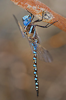 339360047 a wild male blue-eyed darner rhionaeschna multicolor perches on a tree limb near jean blanc road canal in  inyo county california
