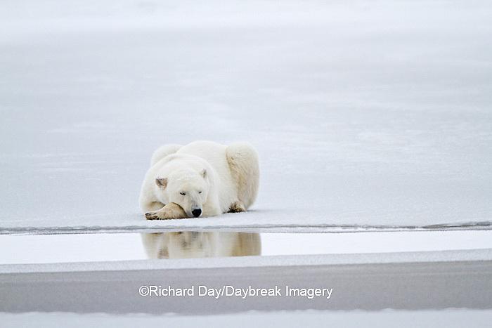 01874-12305 Polar bear (Ursus maritimus) lying on frozen pond, Churchill Wildlife Management Area, Churchill, MB Canada
