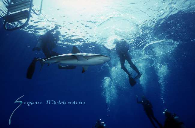 Gray Reef , Carcharhinus perezi, Shark by the divers safety line; shark in middle of divers; unexpected shark at the back of theboat; shark surprises divers ascending to boat; Bahamas; Underwater Marine life Behavior; Atlantic Ocean.BMHA 34 10