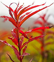Autumn Fireweed, Denali