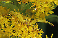 0910-06rr Crab spider - Thomisidae Genus - © David Kuhn/Dwight Kuhn Photography