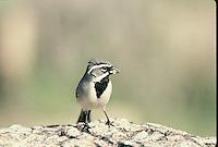 Black-throated Sparrow seen on the desert floor in southern Arizona