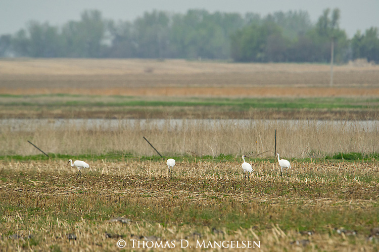 Whooping Cranes near the Platte River in Nebraska.