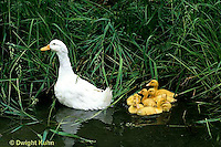 DG13-901x  Pekin Duck - ducklings swimming with mother