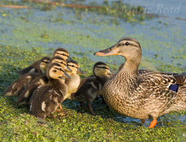 Mallard (Anas platyrhynchos) female with ducklings, Montezuma NWR, NY