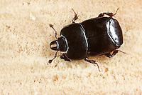 Abgeplatteter Stutzkäfer, Hololepta plana, mimic beetle, Stutzkäfer, Histeridae, Hister Beetles