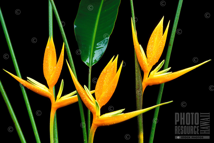 Three yellow-orange bracts, flowers, and leaves of Heliconia angusta cv. Pagoda against a black background