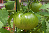 Heirloom tomatoes Black Krim growing, beefsteaks (aka Black Crim, Black Crimson)