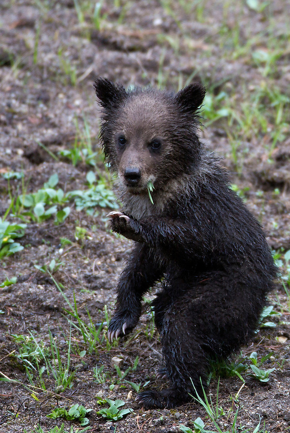 This adorable grizzly (Ursus arctos horribilis) cub of the year is just one of a set a triplets. He/she is wet with the morning dew.