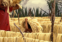 Family work, small landowner -  Drying process of sisal hemp for the thread industry. Rural area of Valente city in Bahia State, northeastern Brazil.