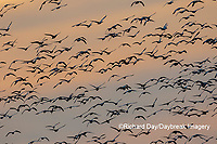 00754-02809 Snow Geese (Anser caerulescens) in flight at sunset Marion Co. IL