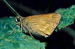 Large Skipper Butterfly, Ochlodes venata, side view, resting leaf