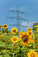 Germany, Baden-Wuerttemberg, Black Forest, sunflower field and high voltage power pole
