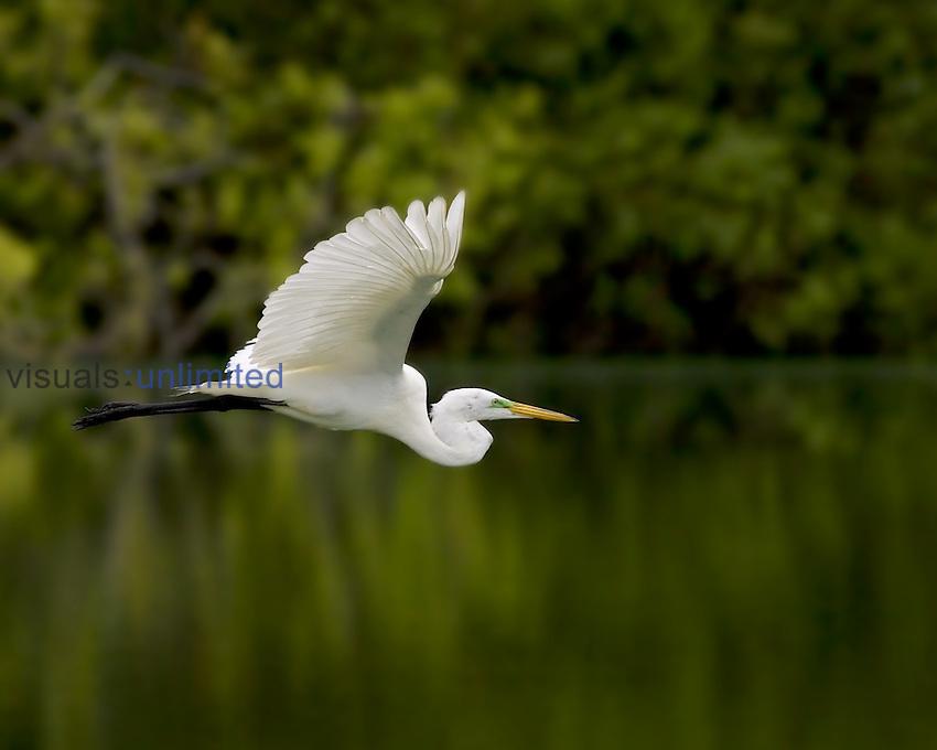 Great Egret ,Ardea alba, in flight. Southern USA.