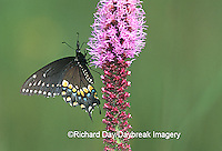 03009-00506 Black Swallowtail, female (Papilio polyxenes) on Prairie Blazing Star (Liatris sp)   IL