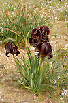 Iris Atrofusca in the Negev