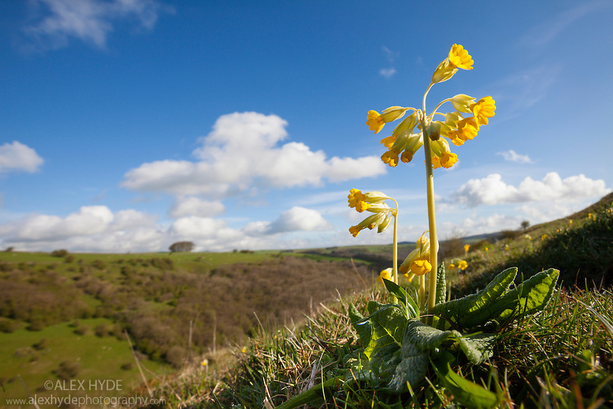 Cowslips {Primula veris} growing in limestone dale, Peak District National Park, Derbyshire, UK. April.