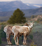 It is sometimes difficult to find big horn sheep in Yellowstone National Park, especially the males with the big horns.