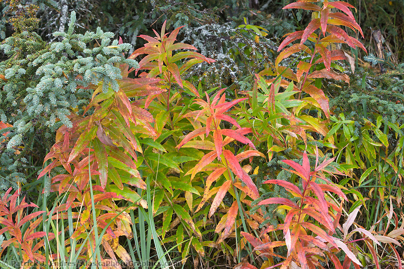 Fireweed plants in autumn color, Katmai National Park, Alaska.