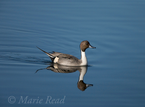 Northern Pintail male in breeding plumage, Bolsa Chica Ecological Reserve California, USA