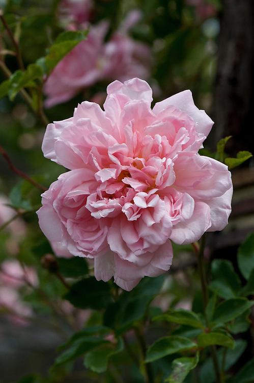 Rosa 'Francois Juranville', mid June.