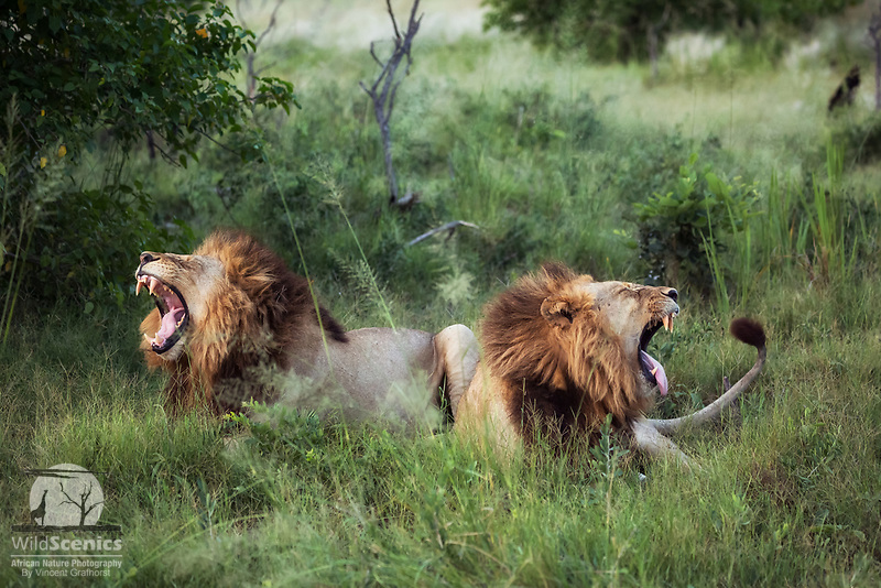 Two male lions yawn simultaneously.