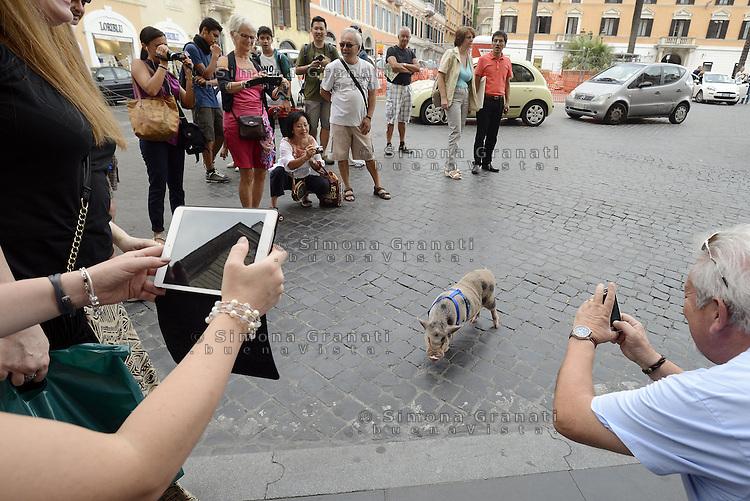 Roma, 19 Settembre 2014<br /> Piazza di Spagna.<br /> Mirto, &egrave; il nome del maialino al guinzaglio a spasso per Roma con il suo padrone Stefano con cui vive in casa.<br /> Maialino come animale da compagnia.<br /> Curiosit&agrave; da parte dei turisti.<br /> A pig on a leash at Piazza di Spagna. <br /> Rome, 19 September 2014 <br /> Piazza di Spagna. <br /> Mirto, is the name of the piglet on a leash for a walk around Rome with his master Stephen with whom he lives in the house. Curiosity of tourists. <br /> Pig as a pet.