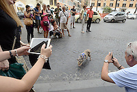 Roma, 19 Settembre 2014<br /> Piazza di Spagna.<br /> Mirto, è il nome del maialino al guinzaglio a spasso per Roma con il suo padrone Stefano con cui vive in casa.<br /> Maialino come animale da compagnia.<br /> Curiosità da parte dei turisti.<br /> A pig on a leash at Piazza di Spagna. <br /> Rome, 19 September 2014 <br /> Piazza di Spagna. <br /> Mirto, is the name of the piglet on a leash for a walk around Rome with his master Stephen with whom he lives in the house. Curiosity of tourists. <br /> Pig as a pet.